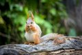 Cute squirrel eating nut in forest Royalty Free Stock Photography