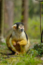 Cute squirrel monkey Royalty Free Stock Photos
