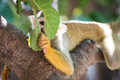 Cute squirrel monkey looking playfully through leafs Stock Image