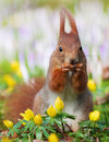 Cute squirrel nibbling at a nut Stock Images