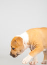 Cute Stafford terrier puppy walking Stock Photo