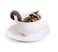 Cute sugarglider in white ceramic cup or flying squirrel of coffee on background Stock Photo