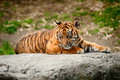 Cute sumatran tiger cub Stock Image