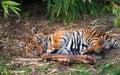Cute sumatran tiger cub playing Royalty Free Stock Photo
