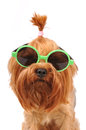 Cute summer portrait of yorkshire terrier in sunglasses closeup isolated on white and looking at camera Stock Image