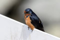 Cute swallow bird sitting on fence portrait resting closeup Stock Images