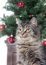 Cute tabby cat in front of Christmas tree Royalty Free Stock Photos