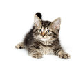 Cute tabby kitten baby american shorthair playing on white background Stock Photo