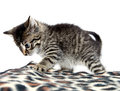 Cute tabby kitten and blanket playing with animal print on white background Royalty Free Stock Photo