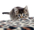 Cute tabby kitten and blanket playing with animal print on white background Royalty Free Stock Image