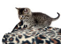 Cute tabby kitten and blanket playing with animal print on white background Royalty Free Stock Photos