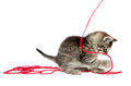 Cute tabby kitten with yarn baby playing red on white background Stock Images