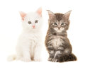 Cute tabby and white main coon baby cats sitting and looking at the camera