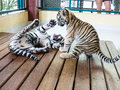 Cute tiger cubs playing six month old Royalty Free Stock Photo