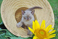 Cute tiny kitten sitting in sun hat sunflower a and adorable portrait of a very young small baby purebred burmese chocolate Royalty Free Stock Photo