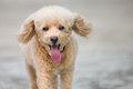 Cute toy poodle a close up portrait of a running Stock Photography