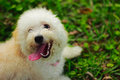 A cute toy poodle dog making a face month old white and cream lying happily on his stomach on the grass full of mischief Stock Photography