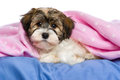 Cute tricolor havanese puppy dog is lying in a bed little on under pink blanket isolated on white background Stock Photos