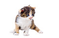 Cute tricolor kitten standing isolated on white background Royalty Free Stock Photo