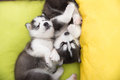 Cute Two siberian husky puppies sleeping Royalty Free Stock Photo