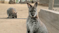 Cute wallaby staring with confused face the other one is eating Royalty Free Stock Photography