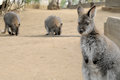 Cute wallaby staring with confused face wallabies standing and eating in australia Stock Photography