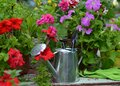 Cute watering can with blooming petunia flowers in the garden Royalty Free Stock Photo