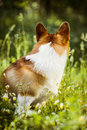 Cute Welsh Corgi sitting backwards in grass Royalty Free Stock Photo