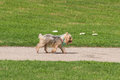 Cute wet pampered pup running, wind blowing through silky hair Royalty Free Stock Photo