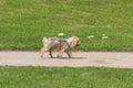Cute Wet Pampered Pup Running,...