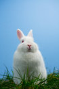 Cute white bunny sitting grass blue background Royalty Free Stock Photos