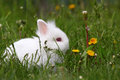 Cute white dwarf bunny Royalty Free Stock Photography