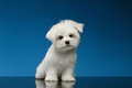 Cute white maltese puppy sits and curiously looking in camera on blue background Stock Photos