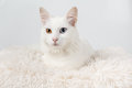 Cute white odd-eyed cat Royalty Free Stock Photo