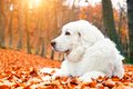 Cute white puppy dog lying in leaves in autumn forest. Royalty Free Stock Photo