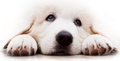 Cute white puppy dog lying and looking up polish tatra sheepdog known also as podhalan or owczarek podhalanski Stock Images