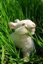 Cute white rabbit eats grass Royalty Free Stock Photo
