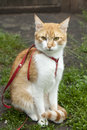 Cute white red cat in a red collar sitting on the trail of green grass Royalty Free Stock Photography