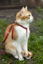 Cute white red cat in a red collar sitting on the trail of green grass Stock Photo
