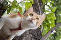 Cute white and red white red cat in red collar a prepares to jump from tree while hunting Royalty Free Stock Photo