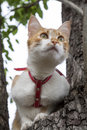 Cute white and red white red cat in red collar a prepares to jump from tree while hunting Stock Photos