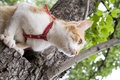 Cute white and red white red cat in red collar a prepares to jump from tree while hunting Royalty Free Stock Image