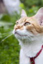 Cute white and red white red cat in red collar a watching for something on the trail of green grass Stock Photo