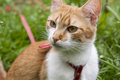 Cute white and red white red cat in red collar a watching for something on the trail of green grass Royalty Free Stock Photos