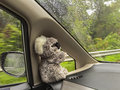 Cute wild Koala Bear doll sitting inside moving car near wing mi Royalty Free Stock Photo