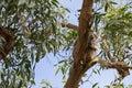 Cute wild Koala Bear sleeping resting on Eucalyptus Gum tree bra Royalty Free Stock Photo