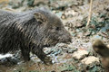 Cute wild pig  cub in the mud Royalty Free Stock Photography