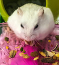 Cute Winter White Dwarf Hamster is being fed with grains. The Winter White, also known as Winter White Dwarf Hamster Royalty Free Stock Photo