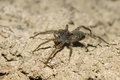 Cute Wolf spider Stock Image