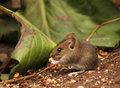 Cute wood mouse baby eating in natural environment Stock Photo
